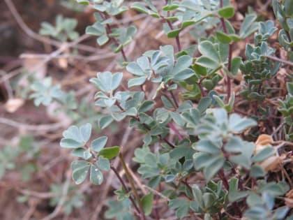 Lotus creticus - Fabaceae