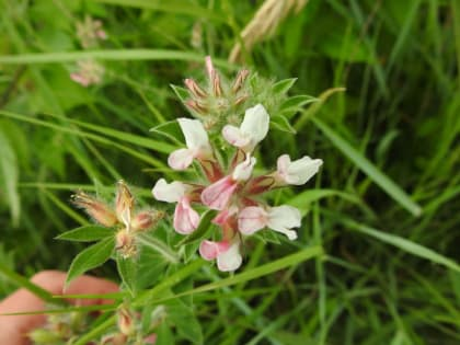 Lotus hirsutus - Fabaceae