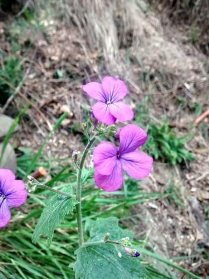 Lunaria annua - Brassicaceae