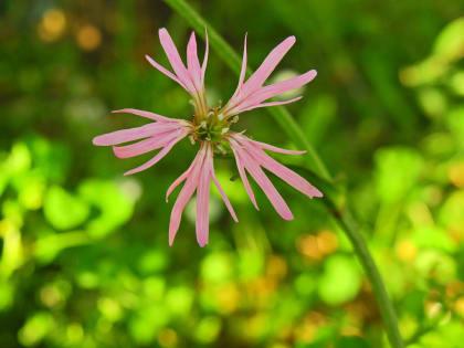 Lychnis flos-cuculi - Caryophyllaceae