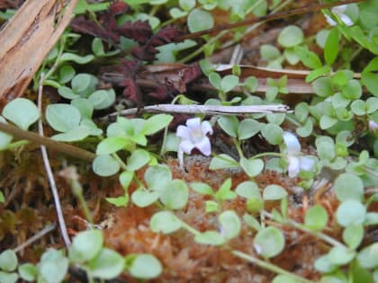 Lysimachia tenella - Primulaceae