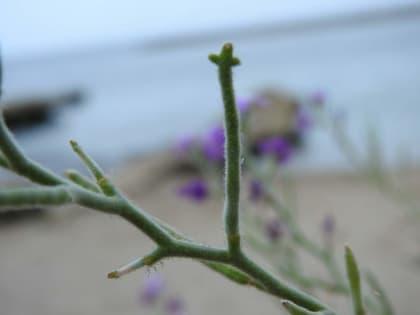 Matthiola tricuspidata - Brassicaceae