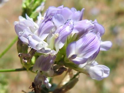 Medicago sativa - Fabaceae
