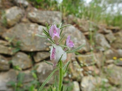 Misopates orontium - Plantaginaceae