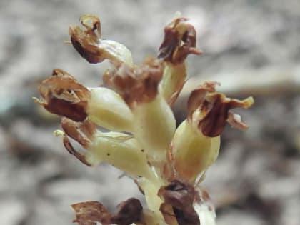 Monotropa hypopitys - Ericaceae