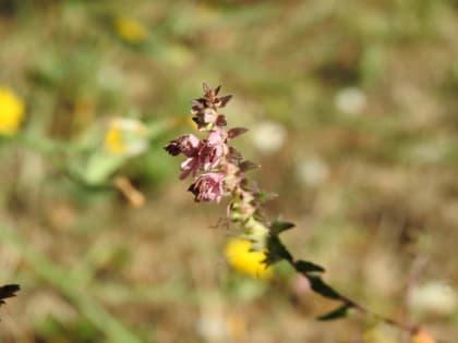 Odontites vernus - Orobanchaceae