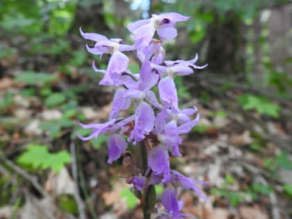 Orchis mascula - Orchidaceae