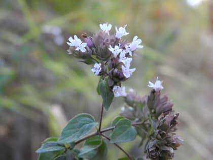 Origanum vulgare - Lamiaceae
