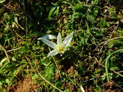 Ornithogalum exscapum - Asparagaceae