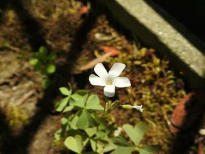 Oxalis incarnata - Oxalidaceae