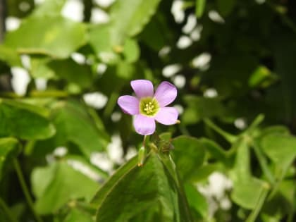 Oxalis latifolia - Oxalidaceae