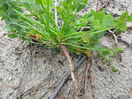 Oxalis pes-caprae - Oxalidaceae
