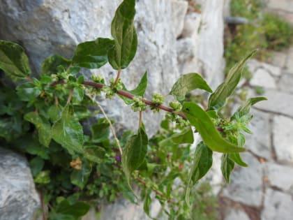 Parietaria judaica - Urticaceae