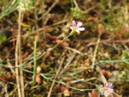 Petrorhagia saxifraga - Caryophyllaceae