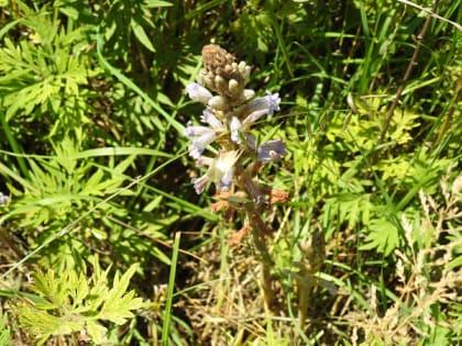 Phelipanche purpurea - Orobanchaceae