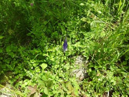 Phyteuma italicum - Campanulaceae