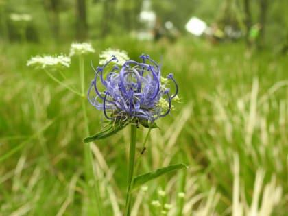 Phyteuma orbiculare - Campanulaceae