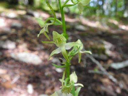 Platanthera bifolia - Orchidaceae