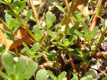 Portulaca oleracea - Portulacaceae