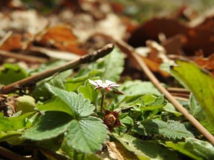Potentilla micrantha - Rosaceae