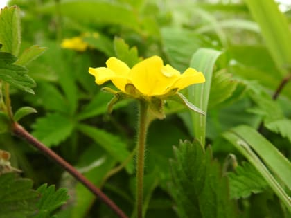 Potentilla reptans - Rosaceae