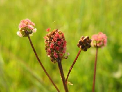 Poterium sanguisorba - Rosaceae