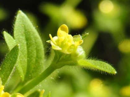 Ranunculus muricatus - Ranunculaceae