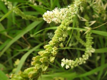 Reseda alba - Resedaceae
