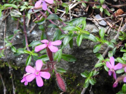 Saponaria ocymoides - Caryophyllaceae