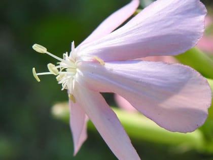 Saponaria officinalis - Caryophyllaceae