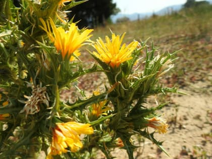Scolymus hispanicus - Asteraceae