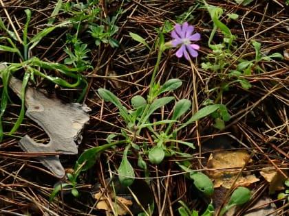 Silene colorata - Caryophyllaceae