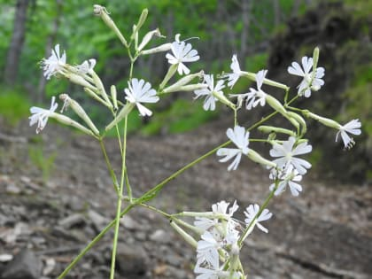 Silene italica - Caryophyllaceae