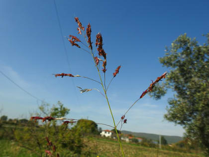 Sorghum halepense - Poaceae