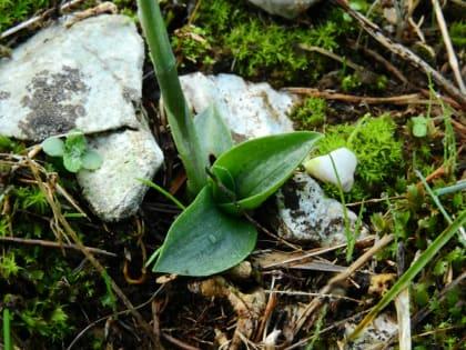 Spiranthes spiralis - Orchidaceae