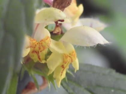 Stachys recta - Lamiaceae