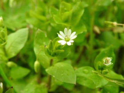 Stellaria media - Caryophyllaceae