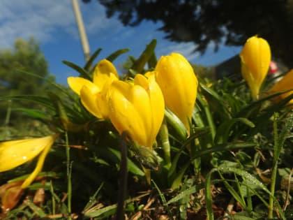 Sternbergia lutea - Amaryllidaceae