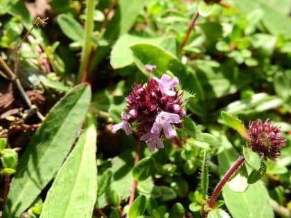 Thymus praecox - Lamiaceae