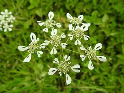 Tordylium apulum - Apiaceae
