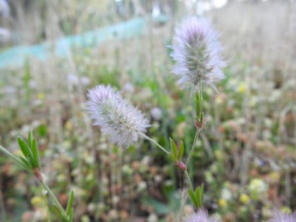 Trifolium angustifolium - Fabaceae