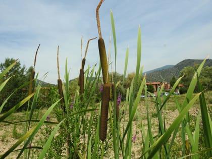 Typha latifolia - Typhaceae