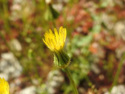 Urospermum picroides - Asteraceae