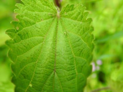 Urtica dioica - Urticaceae