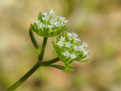 Valerianella carinata - Valerianaceae