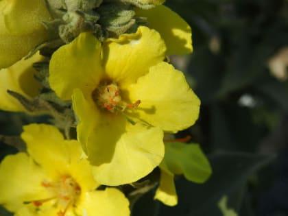 Verbascum thapsus - Scrophulariaceae