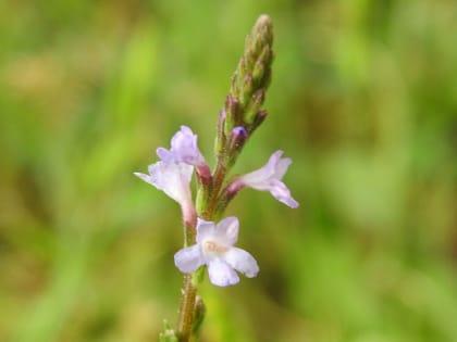 Verbena officinalis - Verbenaceae