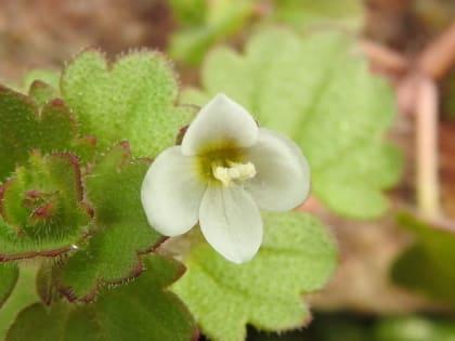 Veronica cymbalaria - Plantaginaceae