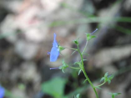Veronica montana - Plantaginaceae