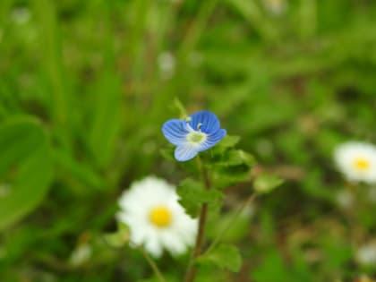 Veronica persica - Plantaginaceae